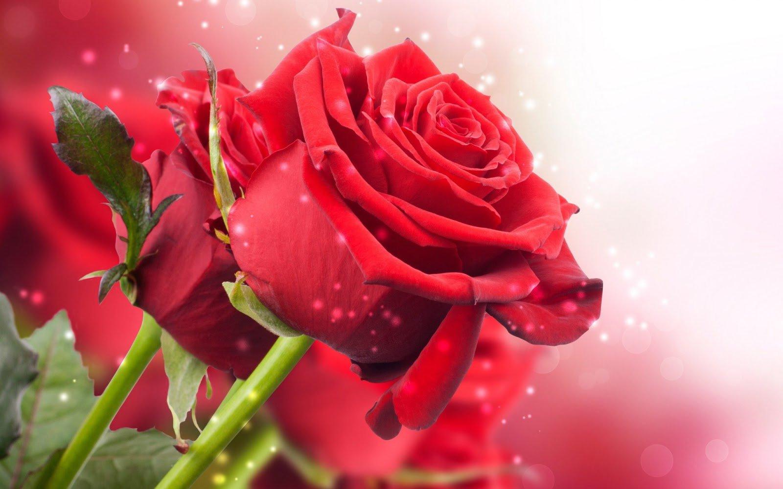 rosa-hd-movimiento